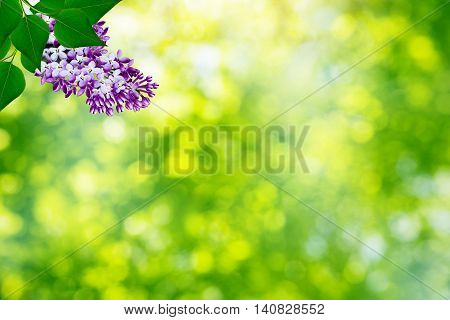 Spring landscape. Fragrant branch of beautiful flowers lilac.