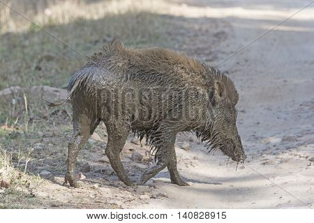Indian Boar after a Mud Bath in Bandhavgarh National Park in India