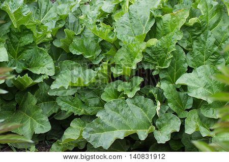 A garden with large healthy organic homegrown leafy rhubarb.