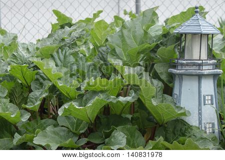 A garden of large healthy organic homegrown leafy rhubarb next to a lighthouse.