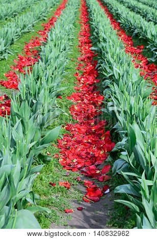 Field of red tulips with the flowers cut off, an intermediate stage in bulb farming