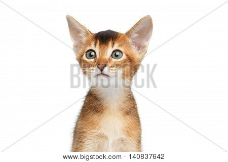 Close-up portrait of Cute Abyssinian Kitty Curious Looks on Isolated White Background, Front view