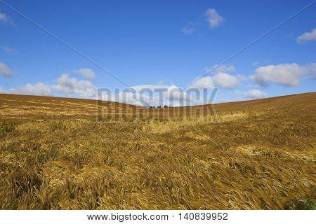 Summer Golden Barley Crops