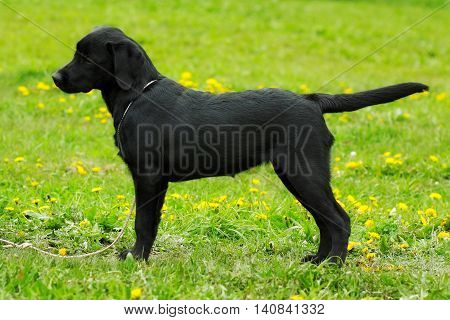 Beautiful purebred black Labrador puppy is in the show position in the summer on the grass. Future dog champion