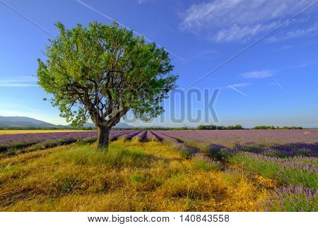Tree in a field at Provence, France
