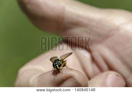Close up of wasp on the hand, Zheleznitsa village, Sofia region, Bulgaria