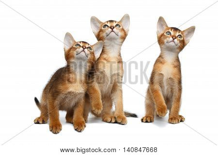 Three Little Abyssinian Kitten Sitting and Curious Looking up on Isolated White Background, Front view
