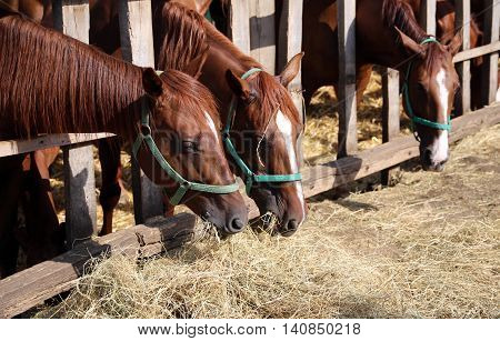 Thoroughbred young horses in the paddock eating dry hay summertime. Hungarian gidran horses eating hay in the stable