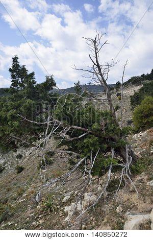 Phoenician Juniper - Juniperus phoenicea Trees at Akamas Cyprus