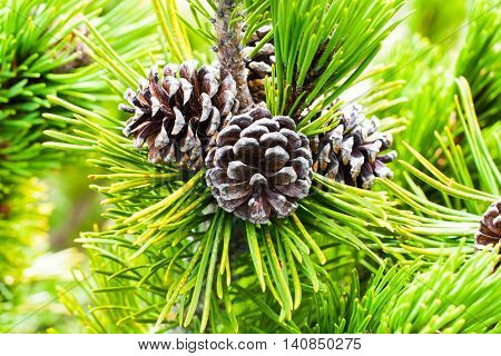 Vibrant background with close-up branch of pine tree with needles and pine cones