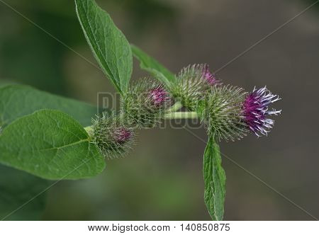 Lesser Burdock flowers - Arctium minus Large Woodland Plant