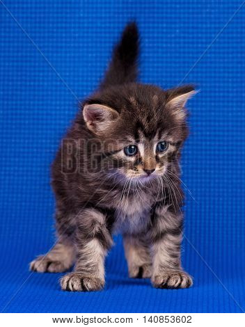 Cute little siberian kitten over blue background