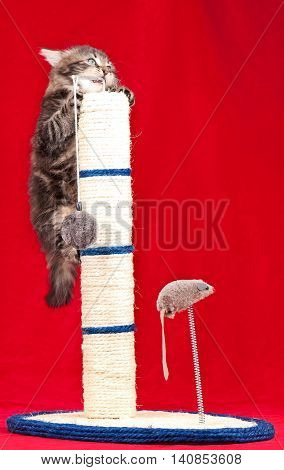 Cute siberian kitten on the scratching post over red background