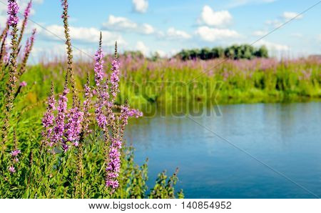 Purple Loosestrife or Lythrum salicaria plants brightly blossoming on the banks of a small lake. It is a sunny day in the summer season.