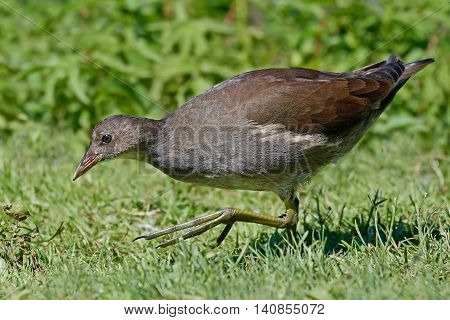 Juvenile Common moorhen (Gallinula chloropus) looking for food in grass