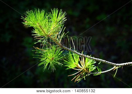 Detail of Pine branch with needles green growth forest