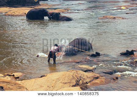 Pinnawala, Sri Lanka, october 21, 2011: Pinnawala Elephant Orphanage. Many elephants bathing in the river. Sri Lanka beautiful landscape of the jungle and of elephants in the river