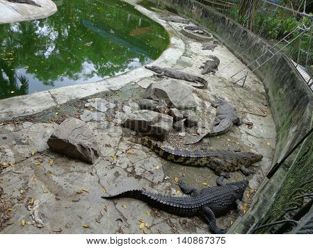 Thailand Phuket 16 DEC 2013 Crocodile farm in Phuket Thailand. Dangerous alligator in wildlife