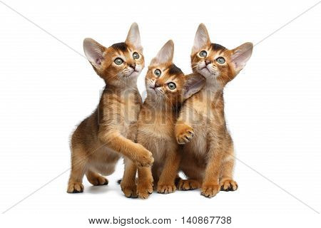 Three Cute Abyssinian Kitten Sitting and Curious Looks, Stare in Camera on Isolated White Background, Front view, Playing with ears