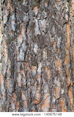 bark texture background great old Scots pine