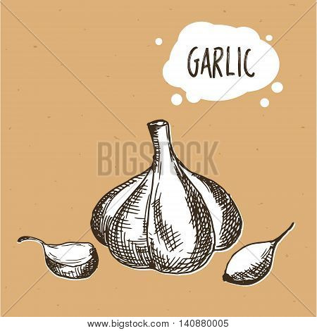Garlic in engraving vintage style. Hand drawn garlic on brown craft paper. Vector illustration
