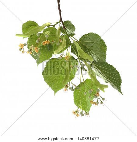 Linden branch isolated on white