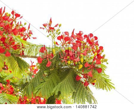 Flowering Delonix Regia