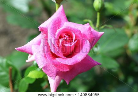Beautiful pink rose with dew