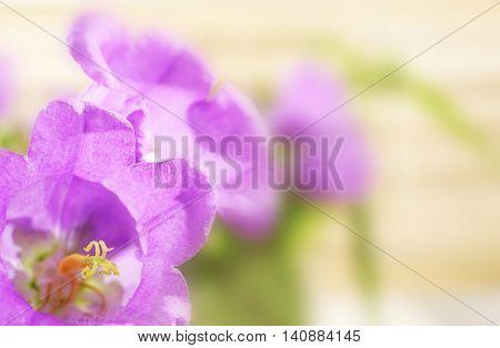 Beautiful purple bellflowers, close up