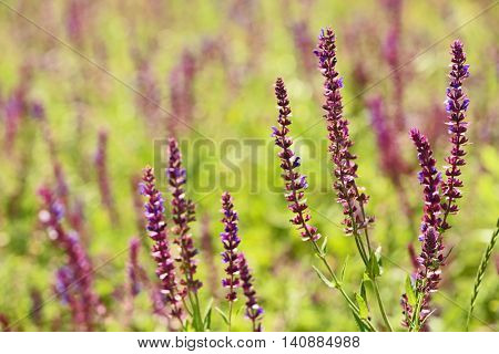 Meadow sage flowers on summer day
