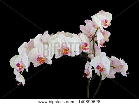 Long branch of white orchids phalaenopsis flower isolated on a black background