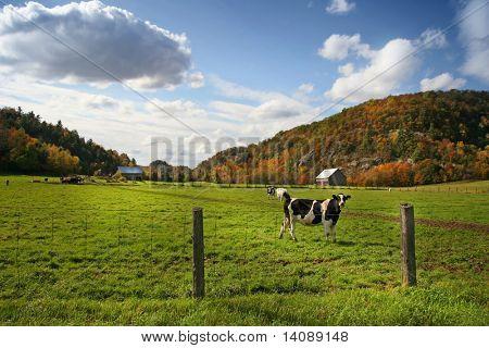 Kühe auf der Weide in früh fallen