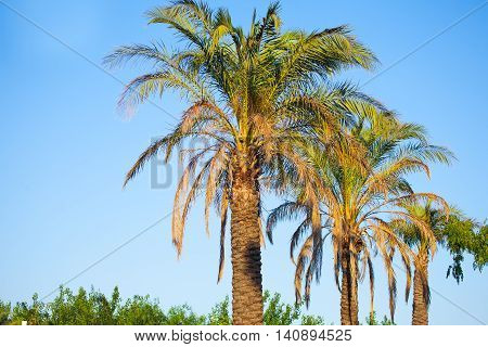 Three beautiful palm trees . The palm trees are sunshine