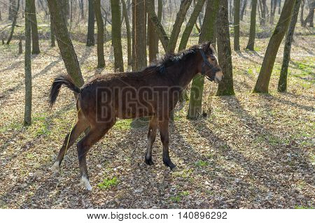 Young horse doing pee-pee in spring forest