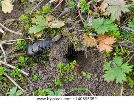 Lethrus apterus beetle near its burrow at spring time