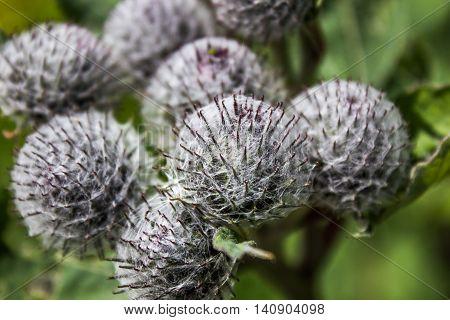 gray balls young inflorescences of burdock a medicinal plant