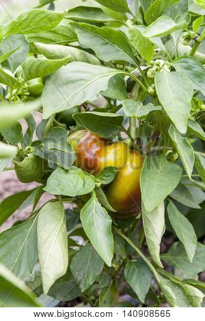 Young Unripe Fruit Pepper On The Bush