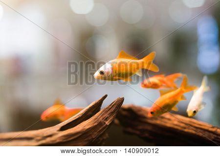group of golden fish through the glass in aquarium