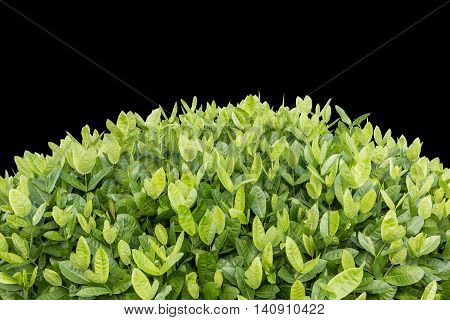 Tree Of Ixora. Tropical Flower In Garden Decoration Isolated On Background. Saved With Clipping Path