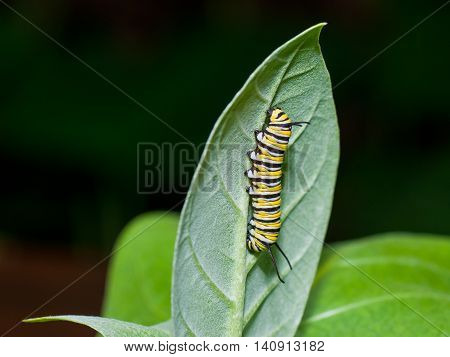 A monarch cater-pillar is crawling on a milkweed leaf showing his yellow white and black stripes.