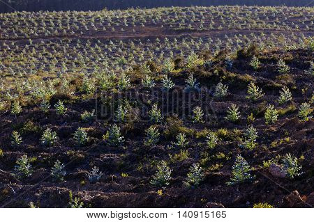 Young plantation of blue gum trees Eucalyptus sp in Portugal