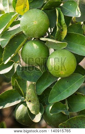 Fruits of limes hanging on tree branch inter leaves
