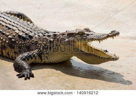 Dangerous crocodile open mouth resting in the sun