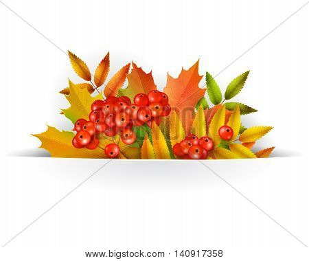Banner Autumn background or template card with yellow maple leaves and mountain ash berries vector background