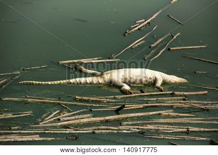 Dead crocodile corpse in the water pollution