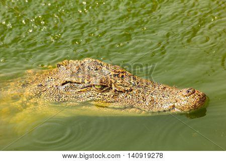 small crocodile swimming above water in the wild