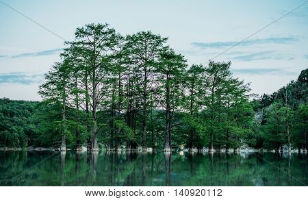 Beautiful green cypresses trees growing in the lake in summer season