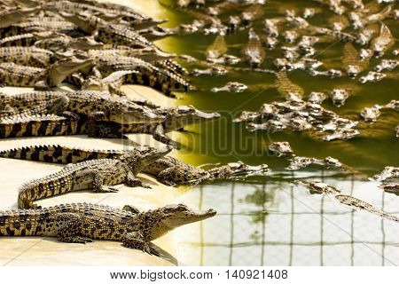 Small crocodiles in the crocodile farm Thailand
