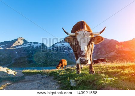 Cow With Long Horns Grazing In The Mountains To Sun