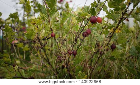 Red gooseberries on branches in garden. Ribes grossularia. Gooseberry fruits contain vitamins, sugar, minerals, trace elements, organic acids, tannins and flavonoids. Concept My Garden